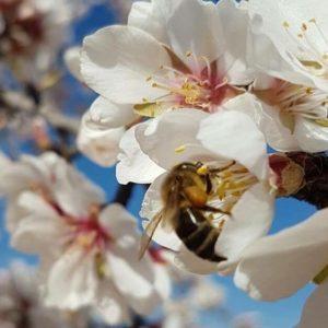Los almendros en flor en mi pueblo, entonces si? siento #homesickness y me gustari?a estar alli? en #arago?n #espan?a #spring #miraragon #sinfiltros #casabiescas #puravida #relax #alojamientosalcañiz  Foto gracias a @cardamomoyclavo