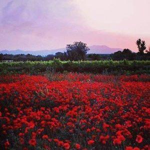 Campo de amapolas en mi pueblo.  Magallón  #miraragon #nature #primavera #flora  Foto gracias a @magallonera #repost