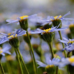 Margaritas azules. Blue daisy.  #naturaleza #MirAragon #casabiescas #nature #puravida #relax #desconectar #viajar #alojamientosalcañiz  Foto gracias a @magallonera #repost