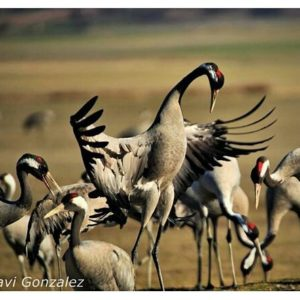 Desafiante ? ? ? ?? Gracias @javiergonzalez.martin por tu preciosa foto y por este #repost. Os invitamos a visitar su galería. ? ? ? ?? Síguenos y etiqueta tus fotos con el hashtag @MirAragon . . . · ? ? ? ?? Laguna de Gallocanta (Zaragoza - Teruel) ? ? ? #Gallocanta  #zaragoza #teruel #Aragón #aragon  #grulla #crane #casabiescas #montañas #naturaleza  #nature #fauna  #animal #birdwatchig  #ornitologia #migration  #miraragon  #autumn  #paisajesdearagon #hiking #tourism #travel #viaje #view #vistas #España #spain #tourism #turismo