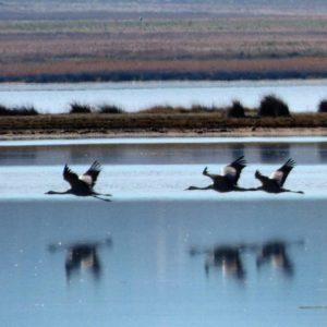 Alrededor de 17.000 grullas habitan estos días la laguna de Gallocanta, entre las provincias de Zaragoza y Teruel. . . . ?? Gracias @bichob por tu preciosa foto y por etiquetarnos. Os invitamos a visitar su galería. ? ? ? ?? Síguenos y etiqueta tus fotos con el hashtag @MirAragon . . . · ? ? ? ?? Laguna de Gallocanta (Zaragoza - Teruel) ? ? ? #Gallocanta  #zaragoza #teruel #Aragón #aragon  #grulla #crane #casabiescas #montañas #naturaleza #nature #fauna  #animal #birdwatchig  #ornitologia #migration  #miraragon  #autumn  #paisajesdearagon #hiking #tourism #travel #viaje #view #vistas #España #spain #europe #tourism #turismo