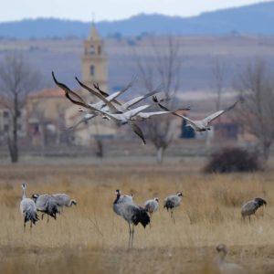 Grullas volando, grullas en el suelo y la iglesia de Bello al fondo ... ? ? ? ??: Gracias @lotocardio por tus preciosas fotos y por #repost . Os invitamos a visitar su galería. ? ? ? ?? Síguenos y etiqueta tus fotos con el hashtag @MirAragon . . . · ? ? ? ?? Aragòn. ? ? ? #Aragón  #MirAragon  #Huesca #Zaragoza #Teruel  #mountains  #naturaleza  #nature  #travel #autumn  #casabiescas  #ruraltop  #spain  #aves #birds #gallocanta  #grulla #crane  #fujistas #xt2  #grupofotocamarma #paisaje #landscape #colours #nature #fujifilm #beautiful #fujixt2 #fujifilm_xseries #wildlife